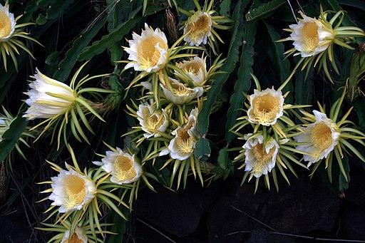 flor de la planta de pitahaya Hylocereus undatus