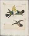 Hylocharis julie - 1700-1880 - Print - Iconographia Zoologica - Special Collections University of Amsterdam - UBA01 IZ19100529.tif
