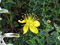 Hypericum balearicum (9491837825).jpg