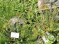 Hypericum rumeliacum - Botanischer Garten, Frankfurt am Main - DSC02634.JPG