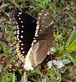 Hypolimnas bolina - Great Eggfly at Thillankeri 16.JPG