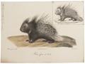 Hystrix cristata - 1700-1880 - Print - Iconographia Zoologica - Special Collections University of Amsterdam - UBA01 IZ20600043.tif