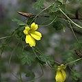 IMG 0495-Tropaeolum brachyceras.jpg