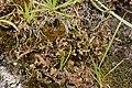 Iceland moss - Cetraria islandica (30657504168).jpg