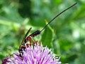Ichneumon wasp (19662552868).jpg