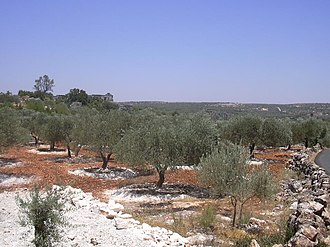 Idlib - Olive orchards at the outskirts of the city. Idlib is a major production center for olives