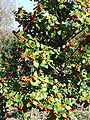 Ilex aquifolium habitus 2009November22 DehesaBoyaldePuertollano.jpg