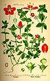 Illustration Anagallis caerulea0.jpg