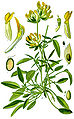 Illustration Anthyllis vulneraria clean.jpg