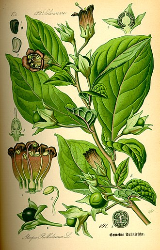Flying ointment - Ingredient : Deadly Nightshade, Atropa belladonna