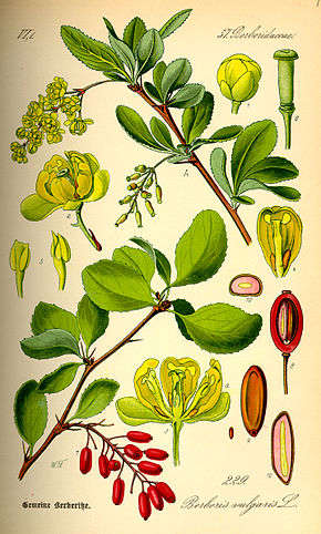 Description de l'image Illustration Berberis vulgaris0.jpg.