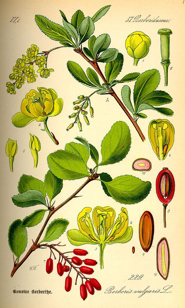 planche botanique de l'épine vinette