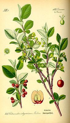 Illustration der Gewöhnlichen Zwergmispel (Cotoneaster integerrimus)