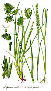 Illustration Dactylis glomerata0 clean.jpg