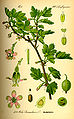 Illustration Ribes uva-crispa0.jpg