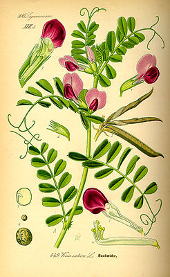Futterwicke (Vicia sativa), Illustration