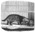 Illustrirte Zeitung (1843) 18 285 1 Die Civetten oder afrikanische Zibethkatzen.PNG