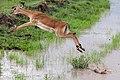 Impala jumping the ditch (6947148468).jpg