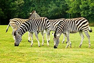 Planète Sauvage (zoological park) - Zebras at Planète Sauvage