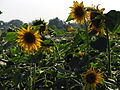 India - Colours of India - Sun flowers (2328600790).jpg