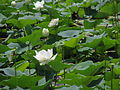 India - Sights & Culture - Lotus Flowers 3 (6321449457).jpg