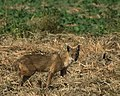 Indian Jackal (Canis aureus indicus) (45727828051).jpg
