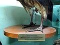 Indian vulture (Gyps indicus) skin DSCN2430.jpg