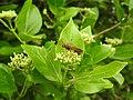 Insects Wasp from Madayipara DSCN2180.jpg