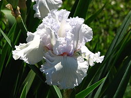 Iris 'Queen of Angels' 01