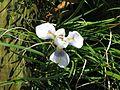 Iris unguicularis Peloponnese Snow - Flickr - peganum.jpg
