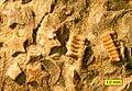 Isocrinus nicoleti Encrinite Mt Carmel.jpg