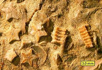 Carmel Formation - Biosparite/grainstone with crinoid columnals (Isocrinus nicoleti) from the Carmel Formation at Mount Carmel Junction, Utah.