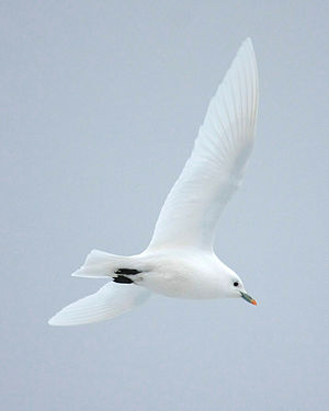 Ivory gull - In flight