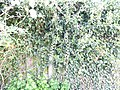 Ivy-on-wooden-fence-2.jpg