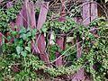 Ivy 1; Fence 0 (7596620292).jpg