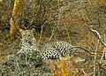 JAWAI BERA LEOPARD.3.jpg
