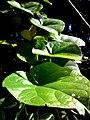 JNU Green Large Leaves.jpg