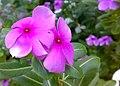 JNU Pink Vinca Flowers.jpg