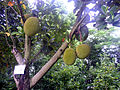 Jack fruit on tree 2.jpg
