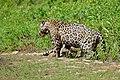 Jaguars (Panthera onca) - catfight ... (28553109744).jpg