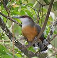 Jamaican Lizard-Cuckoo (cropped).jpg
