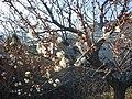 Japanese Aprocot Garden - panoramio.jpg