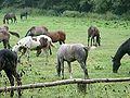 Jaroszowka konie 09270033.jpg