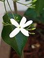 Jasminum azoricum5.jpg