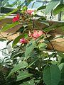 Jatropha integerrima BotGardBln07122011maleFlowers.JPG