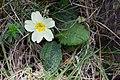 Jordviva (Primula vulgaris)-1 - Flickr - Ragnhild & Neil Crawford.jpg