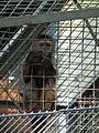 Junger Kapuziner Tierpark Walldorf.JPG