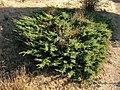 Juniperus-communis-1.jpg