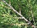 Juniperus chinensis Pfitzerana Aurea 1zz.jpg