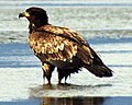 Juvenile Bald Eagle Wet.jpg